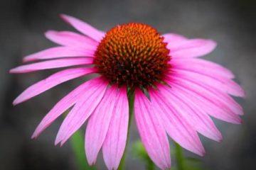 Ehinacea cvet
